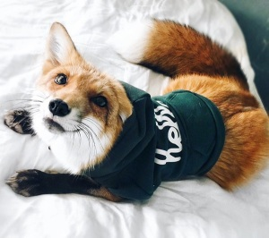 juniper pet fox